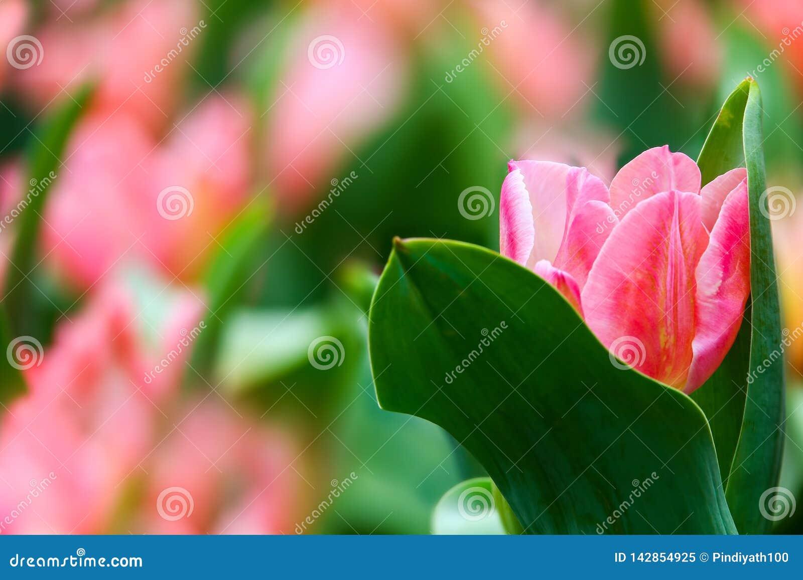 Bello tulipano rosa in un campo che si nasconde fra le foglie