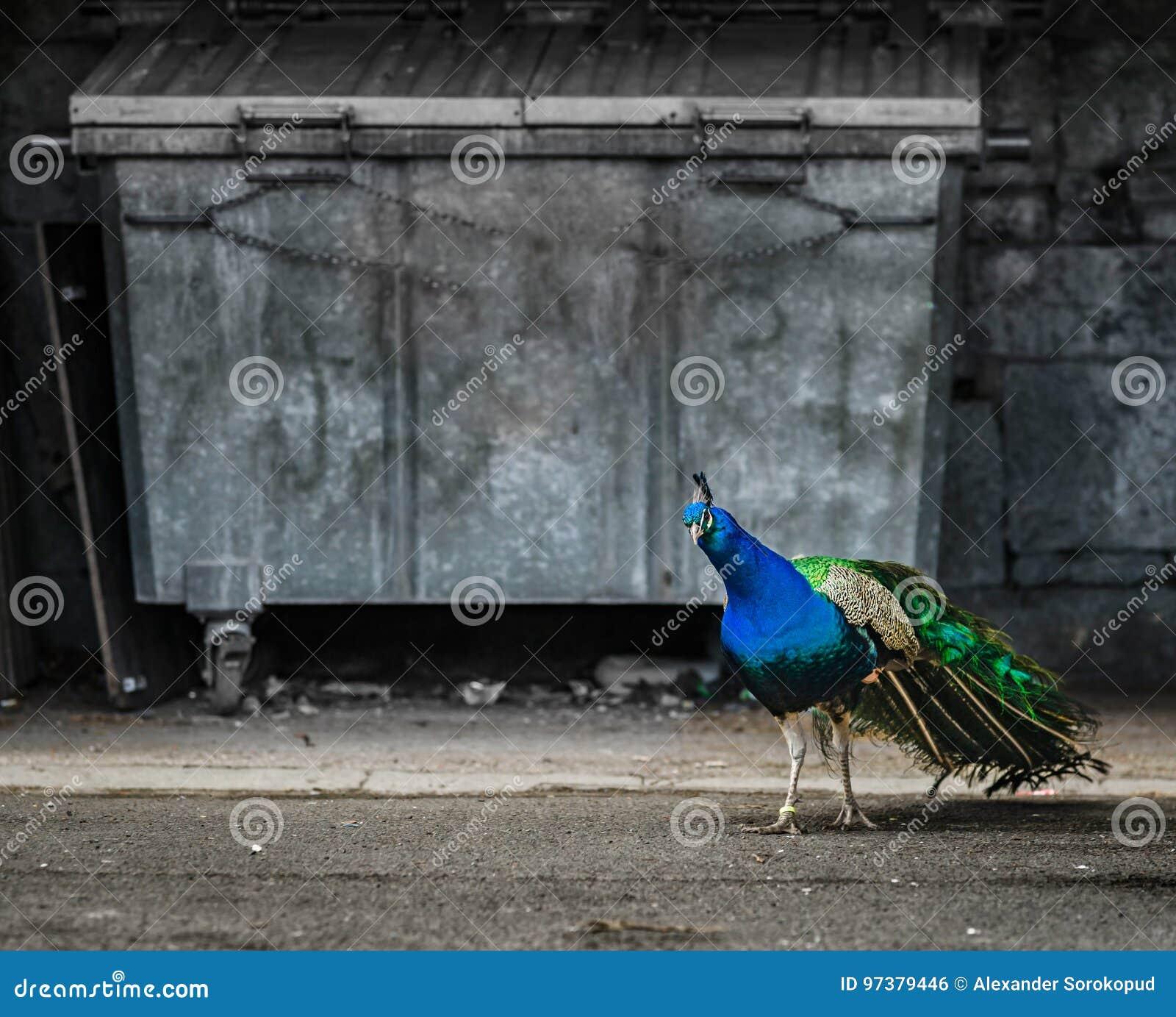 Bello uccello del pavone nella città, opposizione della natura e urb
