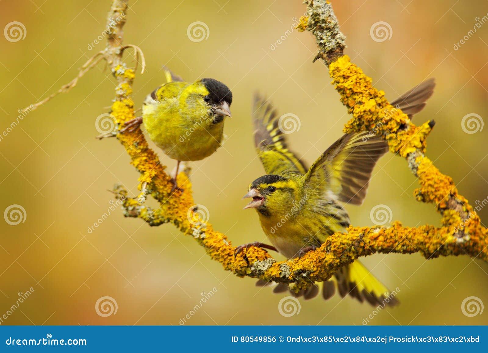 Bello uccello due sul ramo Eurasian Siskin, spinus del carduelis, sedentesi sul ramo con il lichene giallo, chiaro fondo a