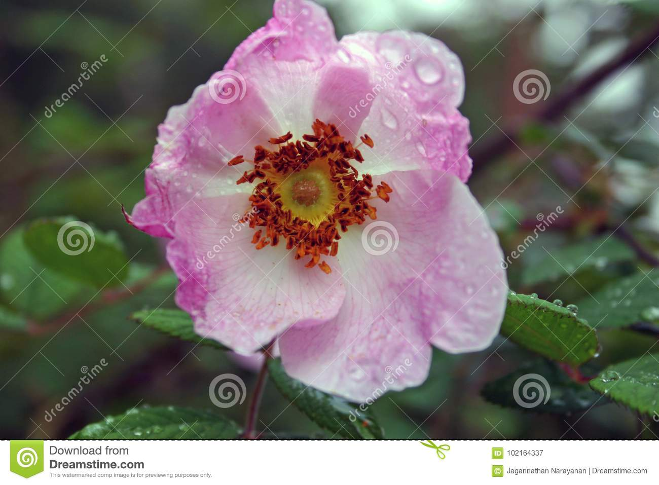 Rosa Macrophylla In Valley Of Flowers National Park Uttarkhand