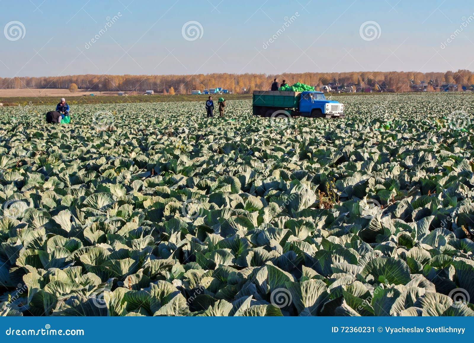 BELOVO,俄罗斯2015年10月20日:农夫收获圆白菜
