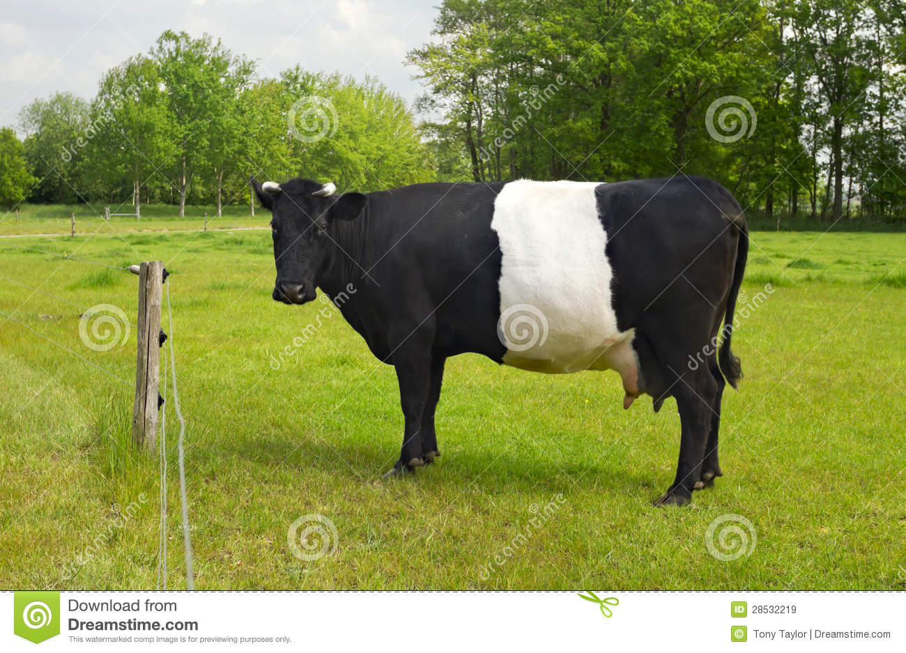 Belted Galloway Cow With Distinctive White Stripe Stock