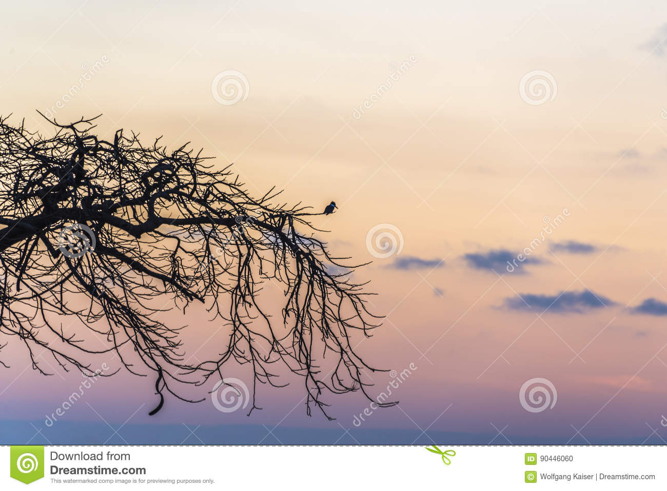 Belted Kingfisher - Megaceryle alcyon at sunset in La Boca, Cuba
