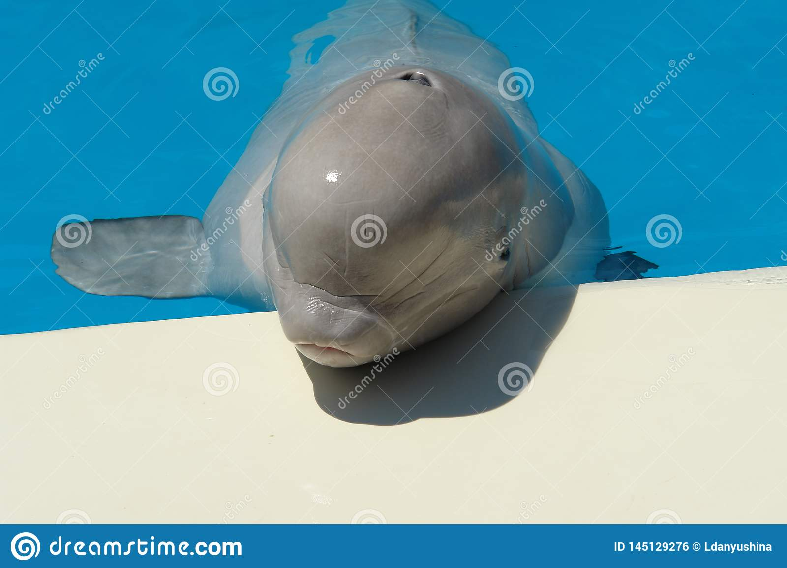 Portrait of a white Belukha on a background of blue water.