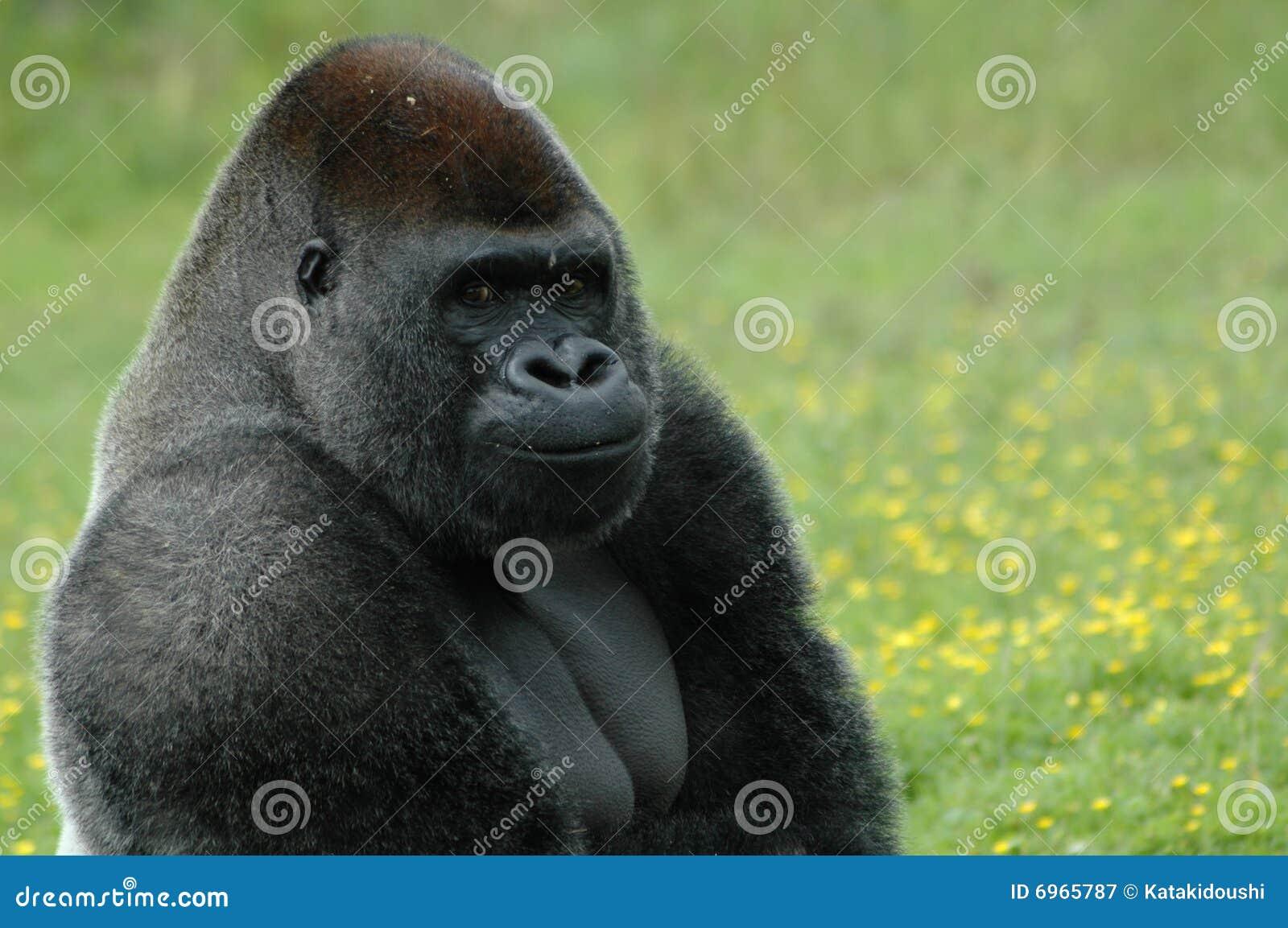 Bemused горилла