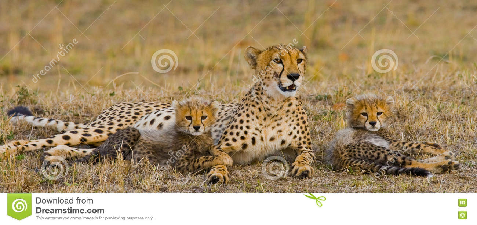Bemuttern Sie Gepard und ihre Jungen in der Savanne kenia tanzania afrika Chiang Mai serengeti Maasai Mara