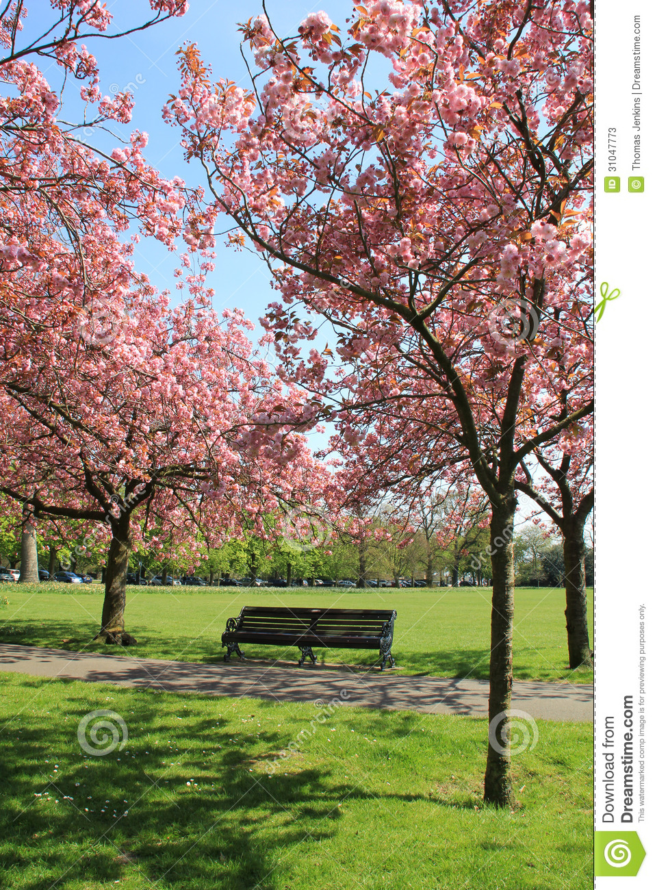 Bench Under Pink Blossoming Trees In Greenwich Park Stock