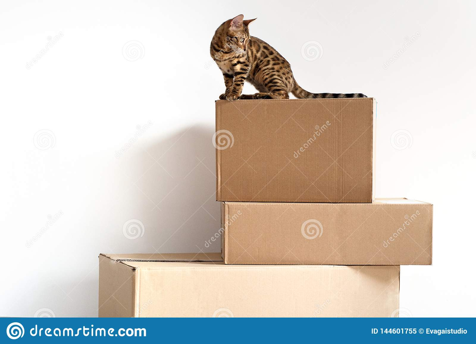 Bengal cat sits on three craft boxes stacked one on another isolated on white background