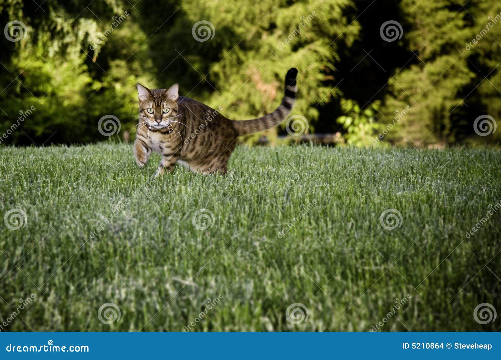 Bengal Cat in grass