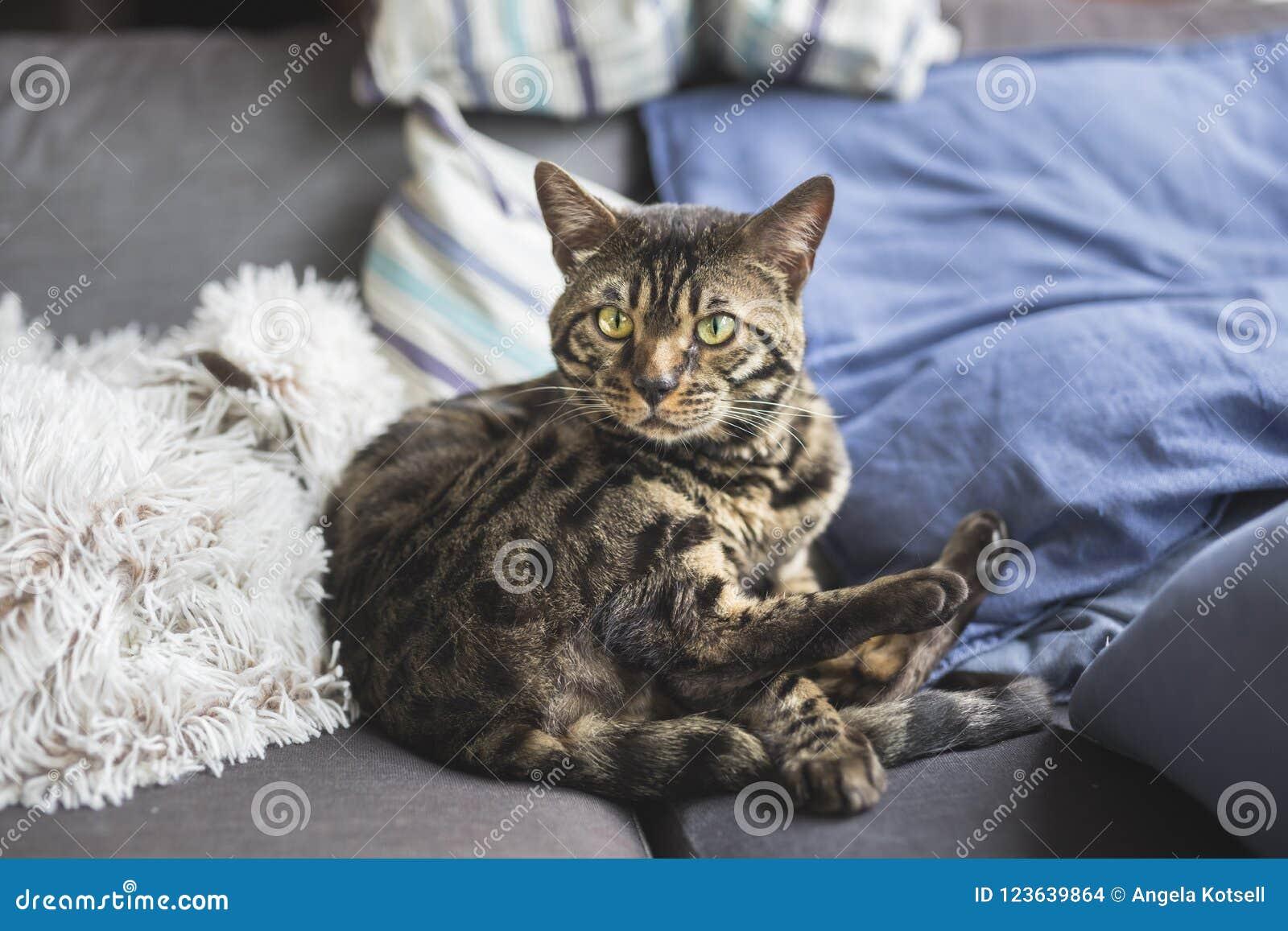 Bengal cat at home