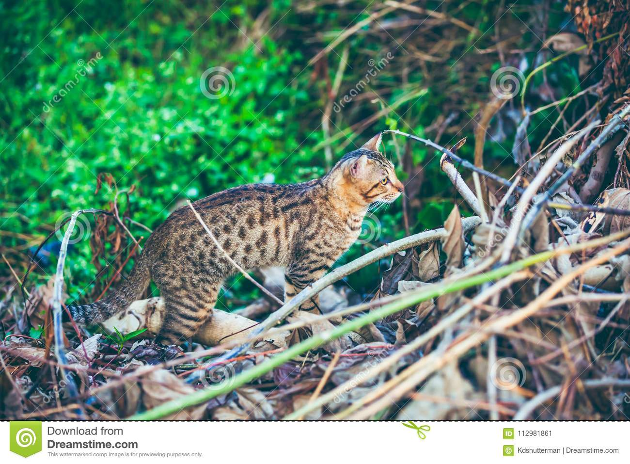Bengal cat hunting in forest. Outdoor with bright sunlight.