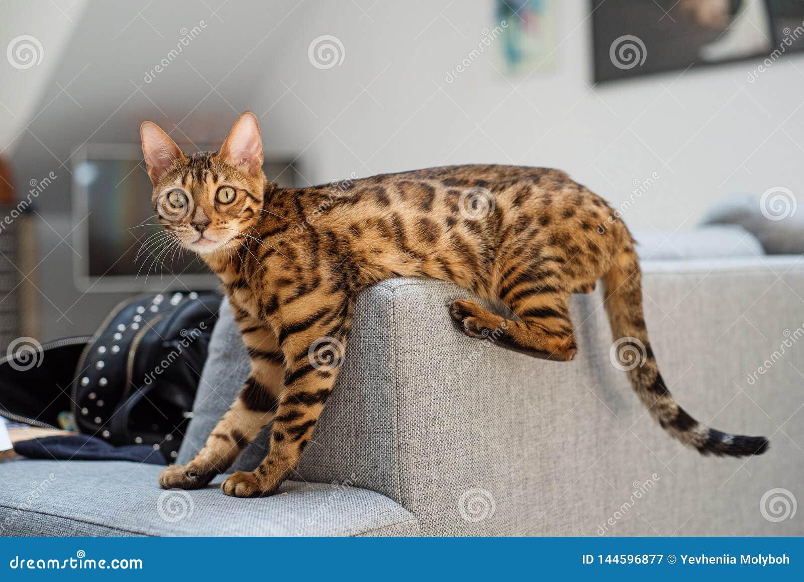 Bengal cat lies on the sofa