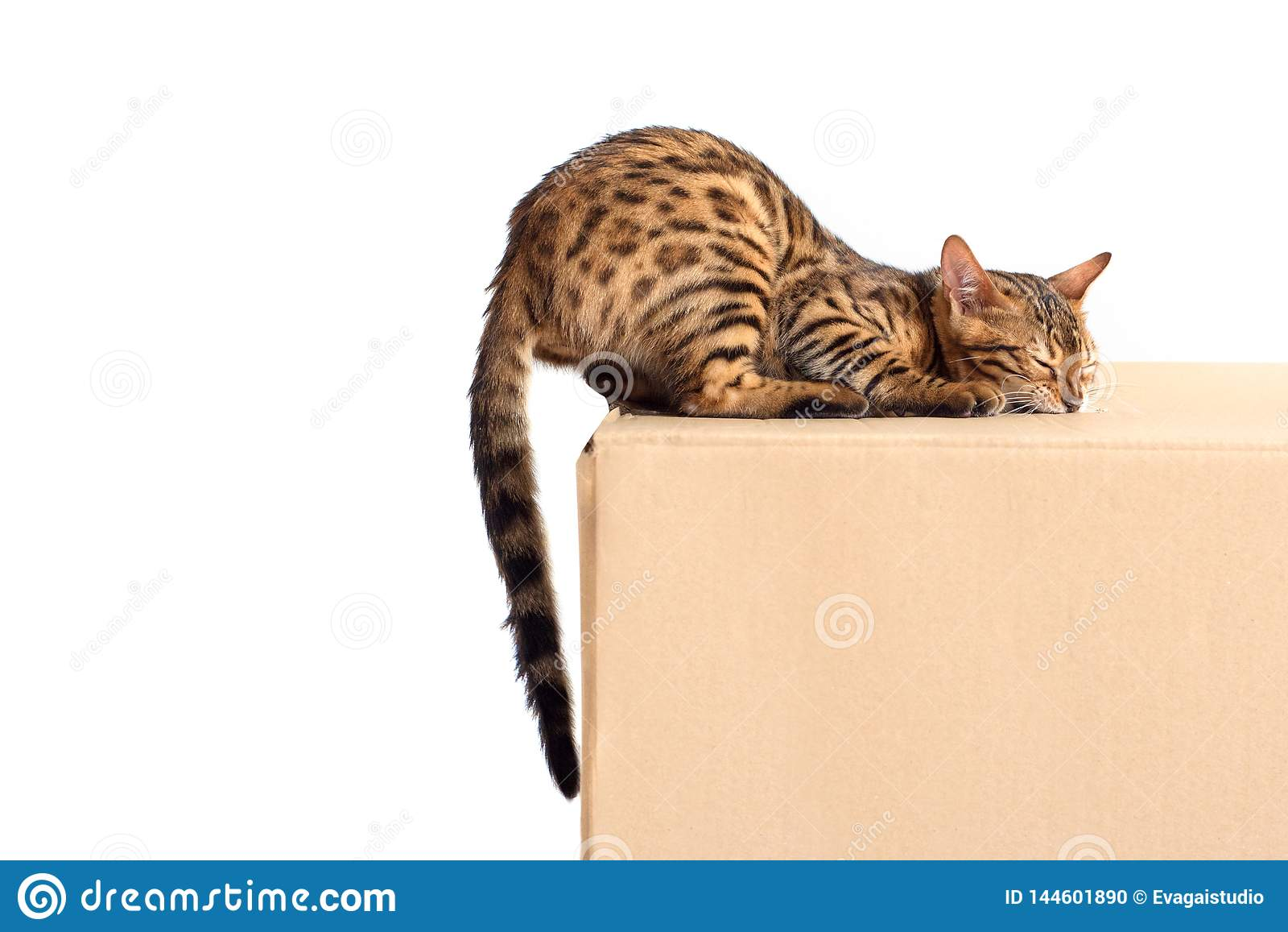Bengal cat nibbles the box with box isolated on white background