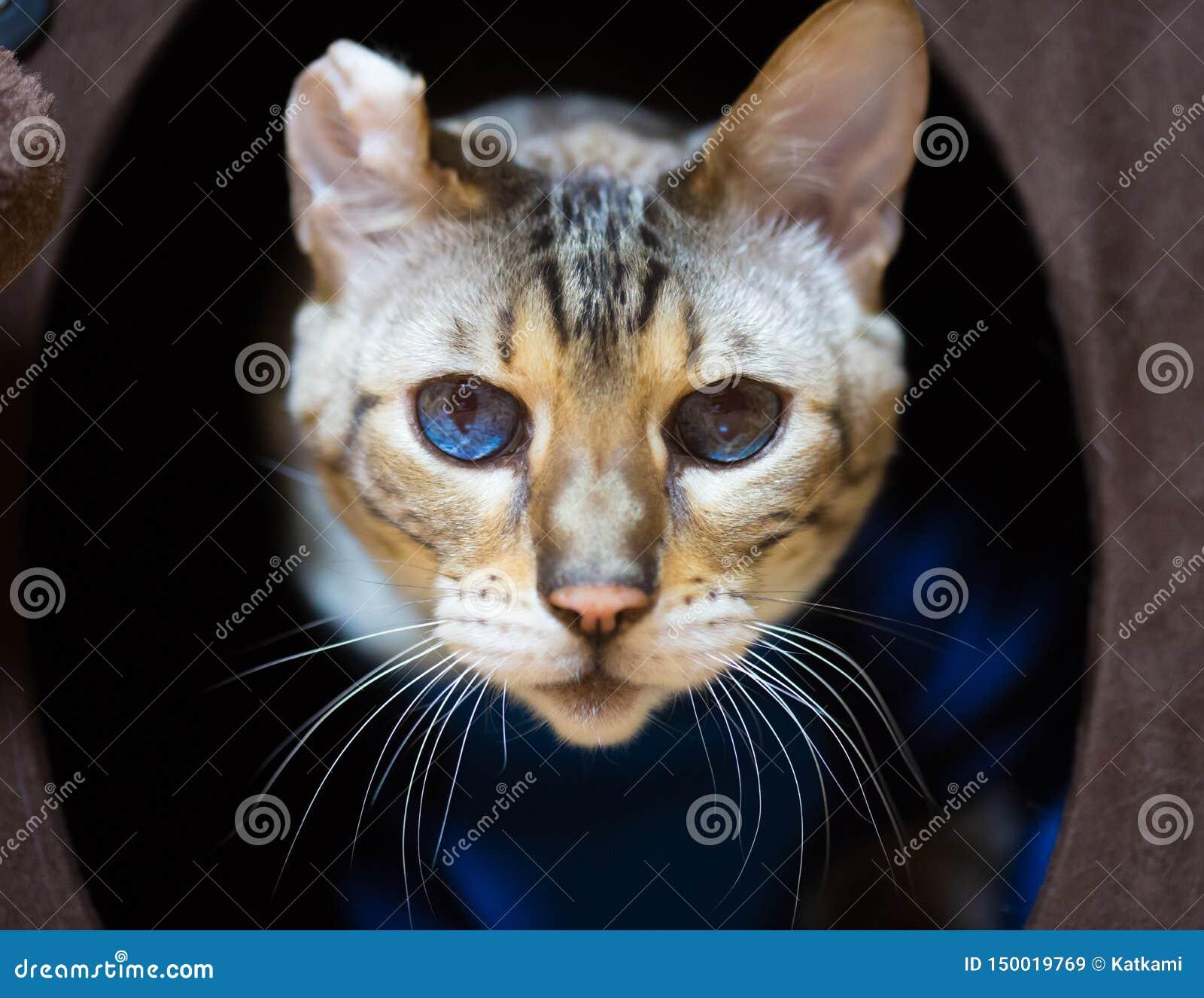 Bengal Cat Portrait com orelha desfigurada