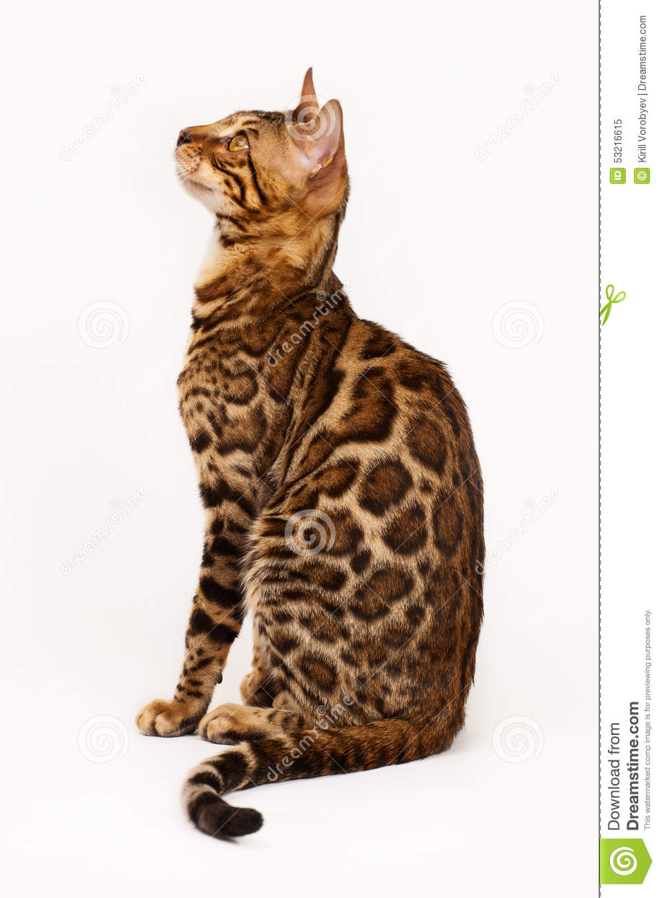 Bengal Cat profile shot