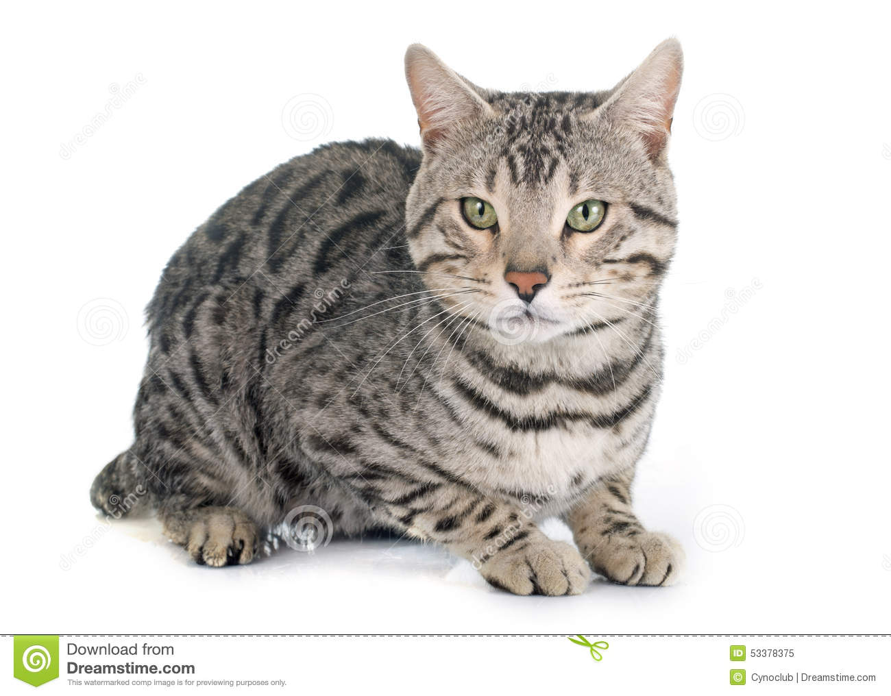 Bengal cat silver stock image Image of silver background