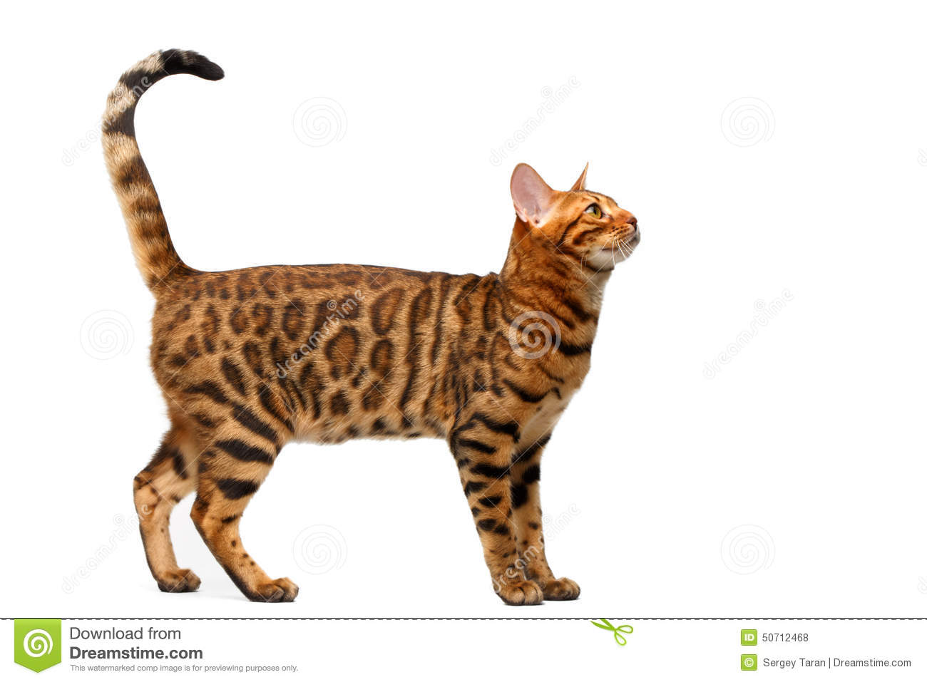 Bengal Cat Standing On White Stock Photo - Image of tail ... | 1300 x 957 jpeg 95kB