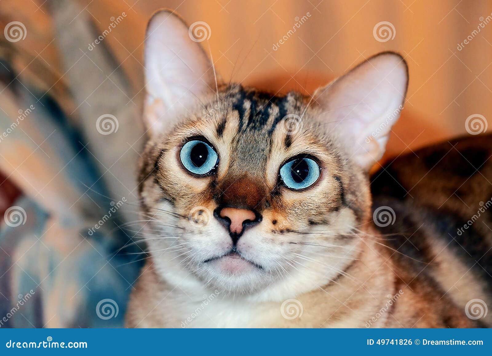 Bengal-Katze mit Aquaaugen