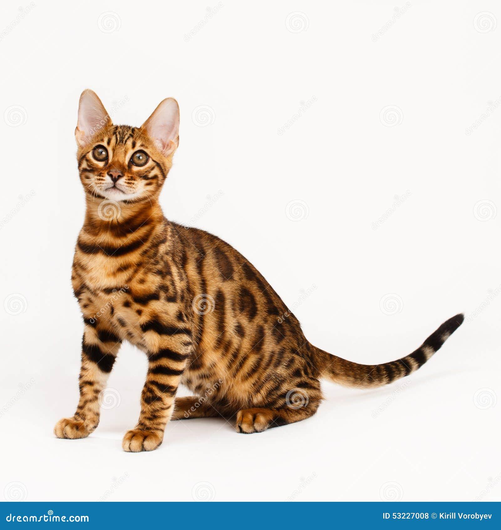 bengal katzen tiger stockfoto bild von portrait haushalt 53227008. Black Bedroom Furniture Sets. Home Design Ideas
