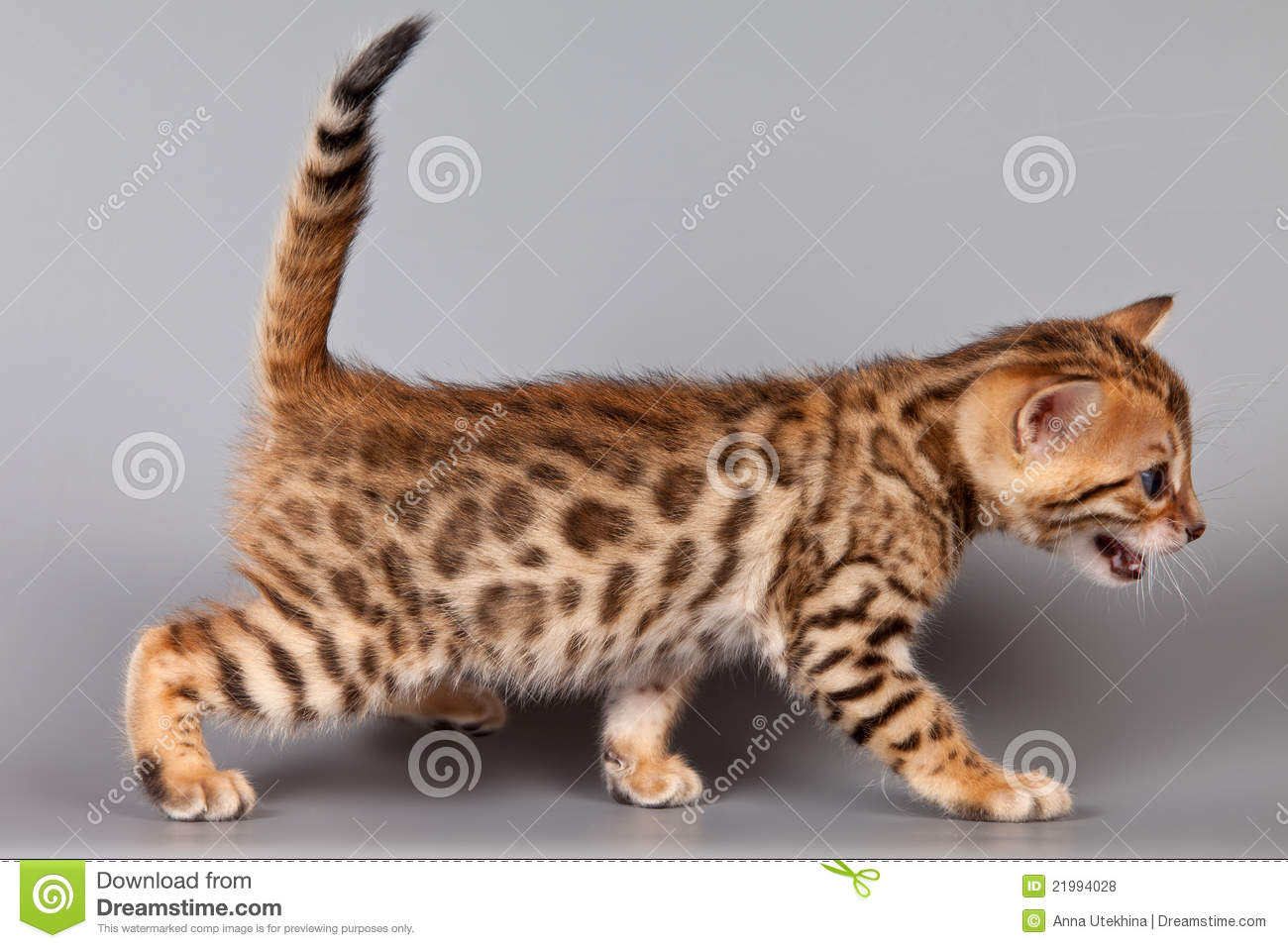 Bengal Kitten Royalty Free Stock Photos - Image: 21994028