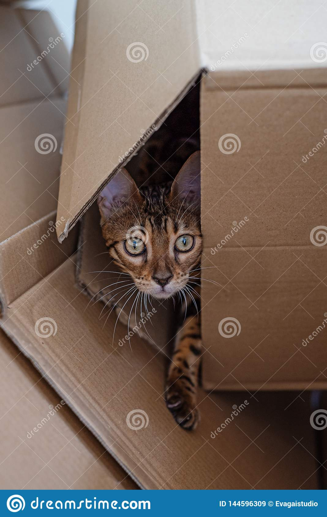 Bengal kitten looks out of the cardboard box