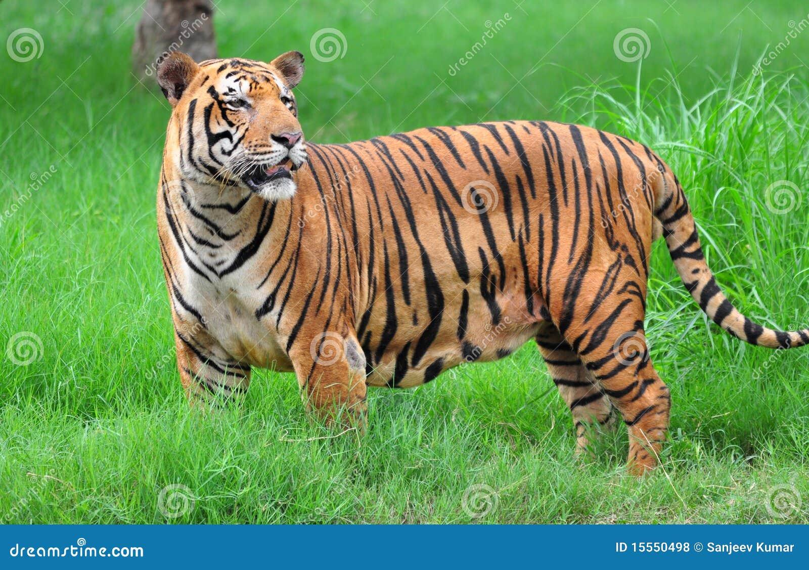 Bengal Tiger Stock Photo Image Of Tail Bushes Animal