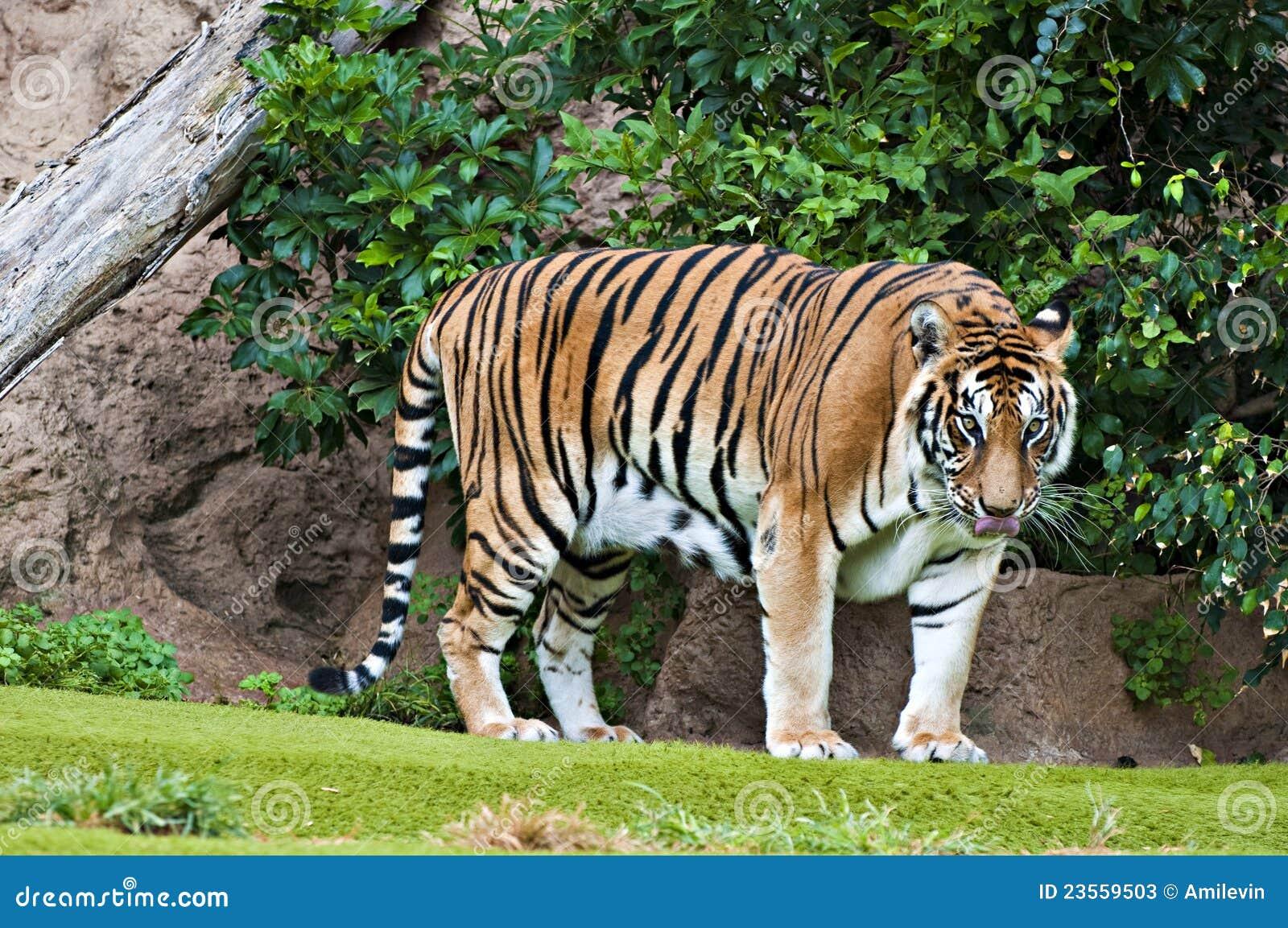 Bengal Tiger Stock Photos Image 23559503