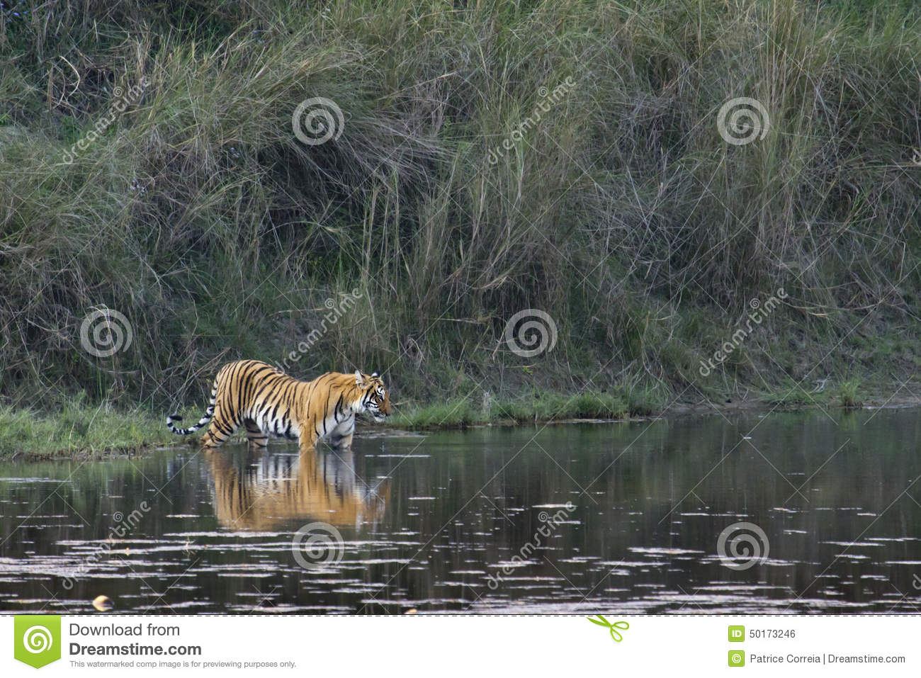 Bardia Nepal  city photo : Panthera tigris, bengal tiger crossing Karnali river, Bardia, Nepal.