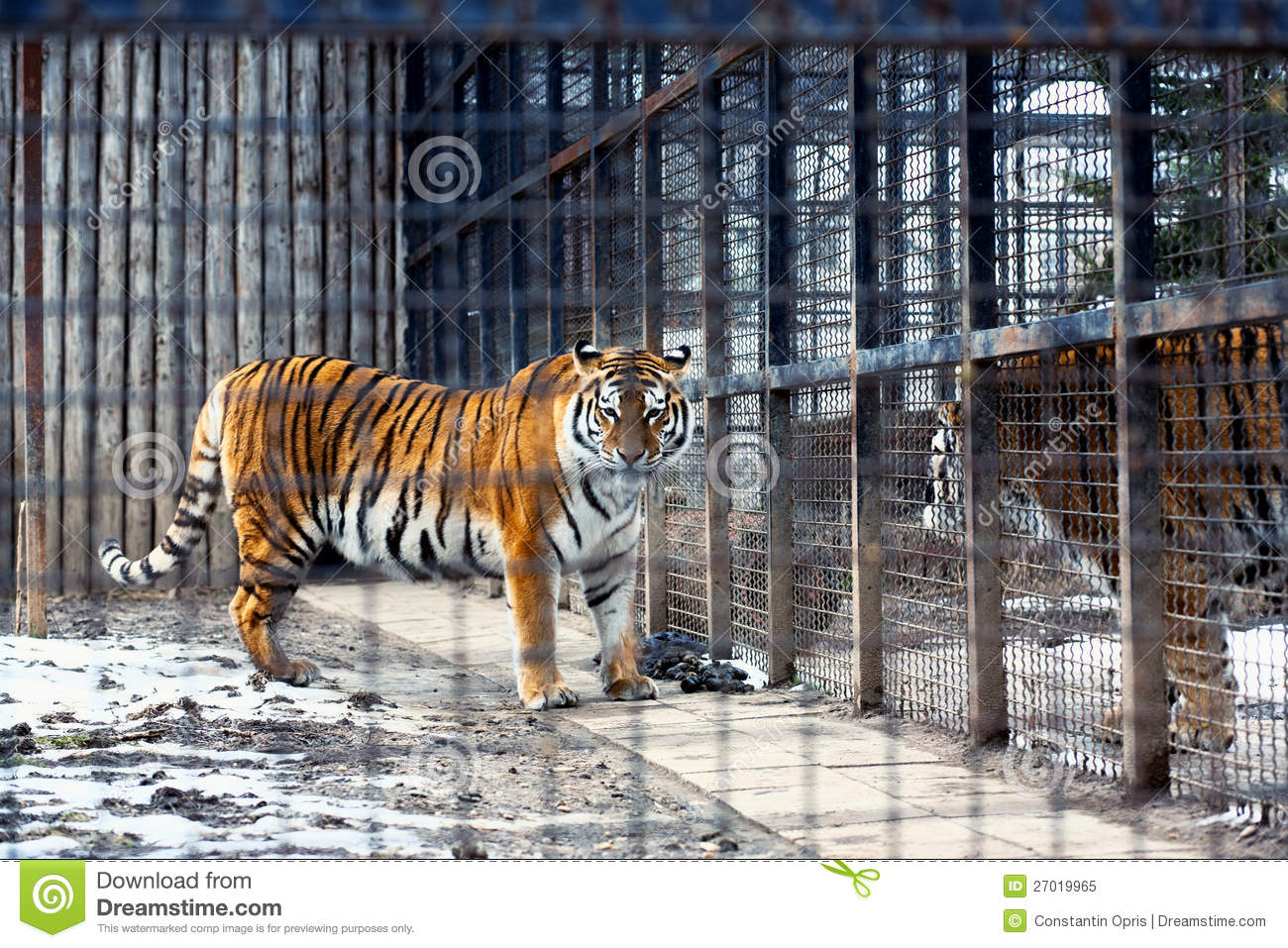Bengal tiger in cage stock image image of siberia fence 27019965 - Tiger in cage images ...