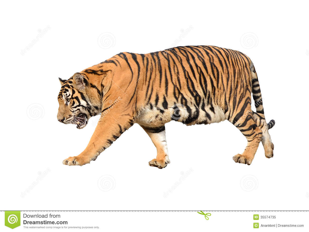 Bengal Tiger Isolated Royalty Free Stock Photo - Image: 35574735