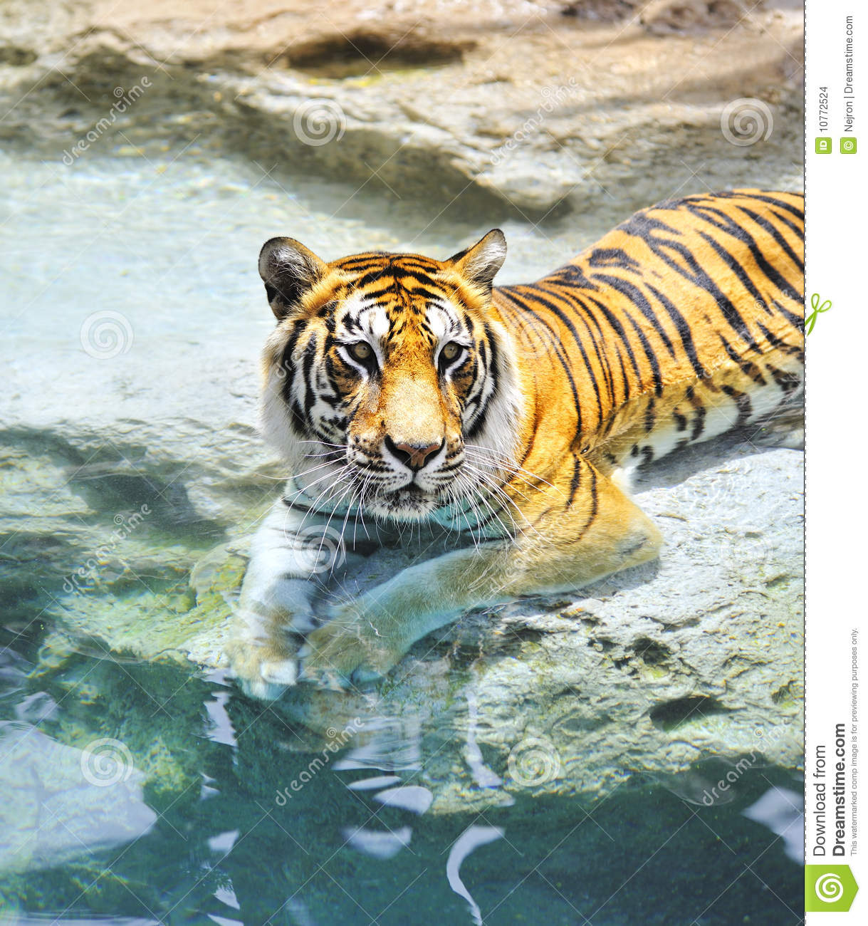 Tiger tired stock image. Image of aggression, free ... |Bengal Tiger Tired