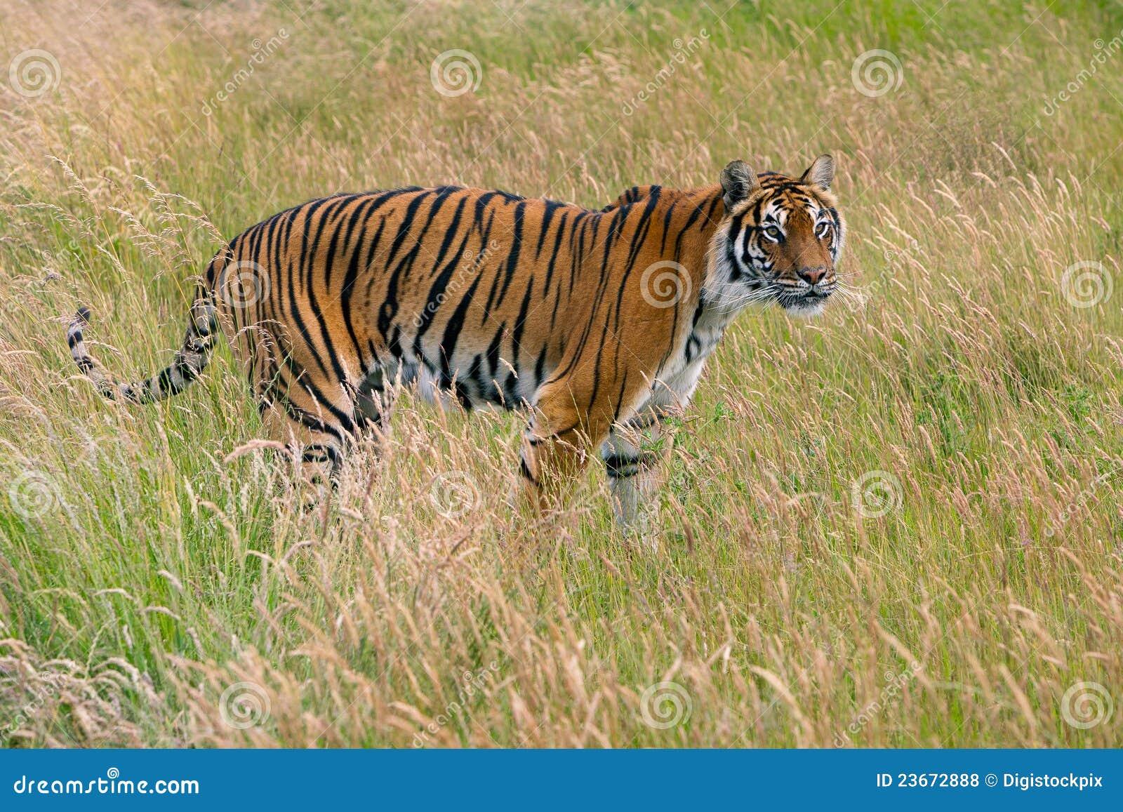 bengal tiger  panthera tigris tigris  royalty free stock panther clip art mascots panthers clip art