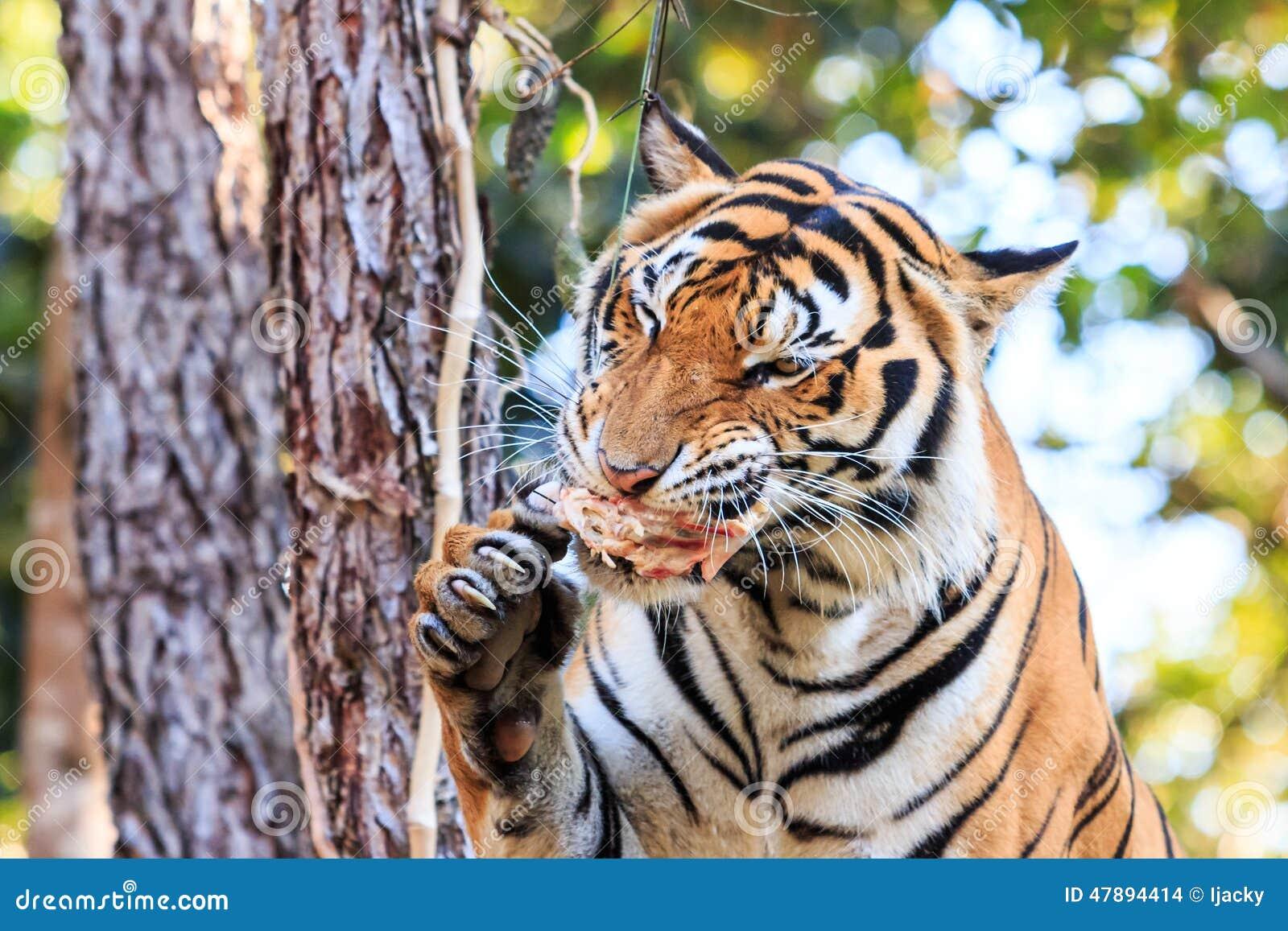Tiger Panthera tigris  CatSG