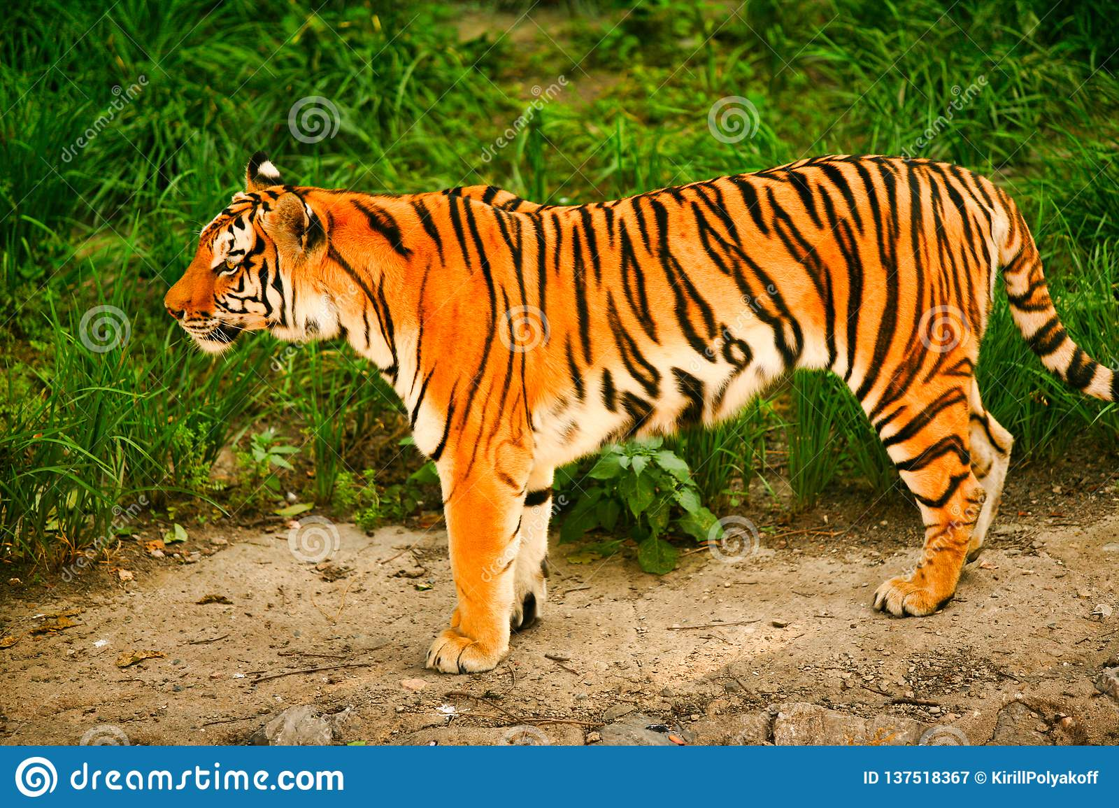 Bengal tiger stands on the background of green grass.