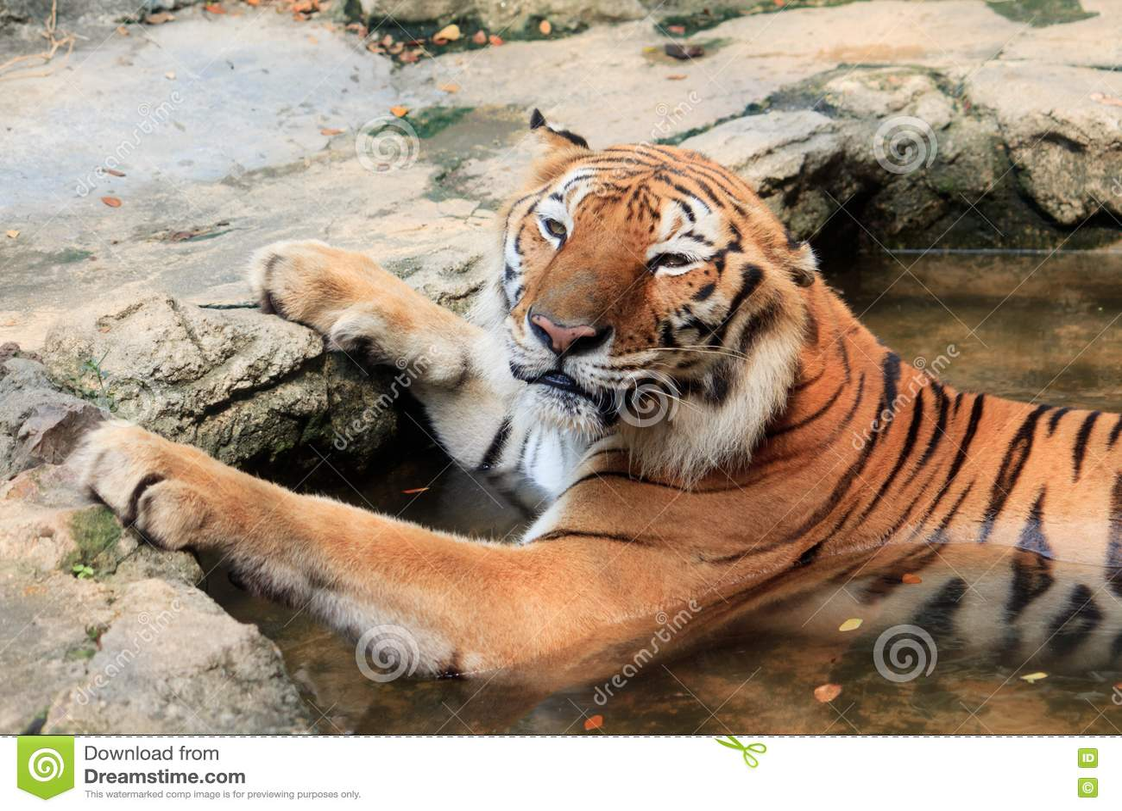 Bengal Tiger Take A Bath Look Cute Royalty Free Stock ...