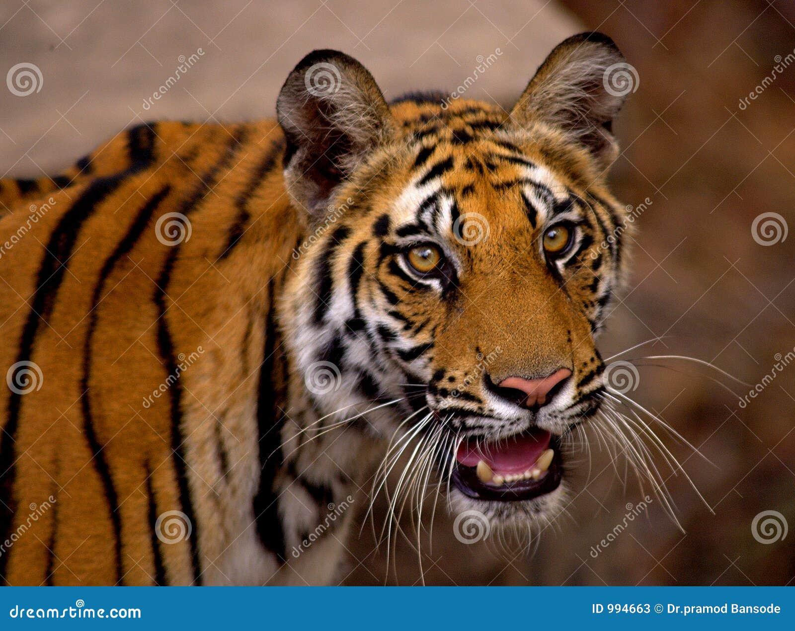 Bengal tygrys królewski zbliżenia