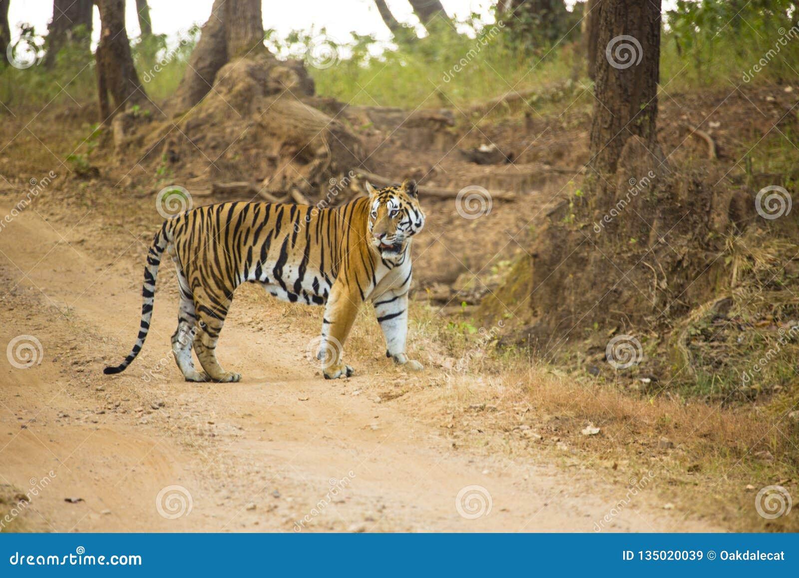 Bengala Tiger Paused en camino