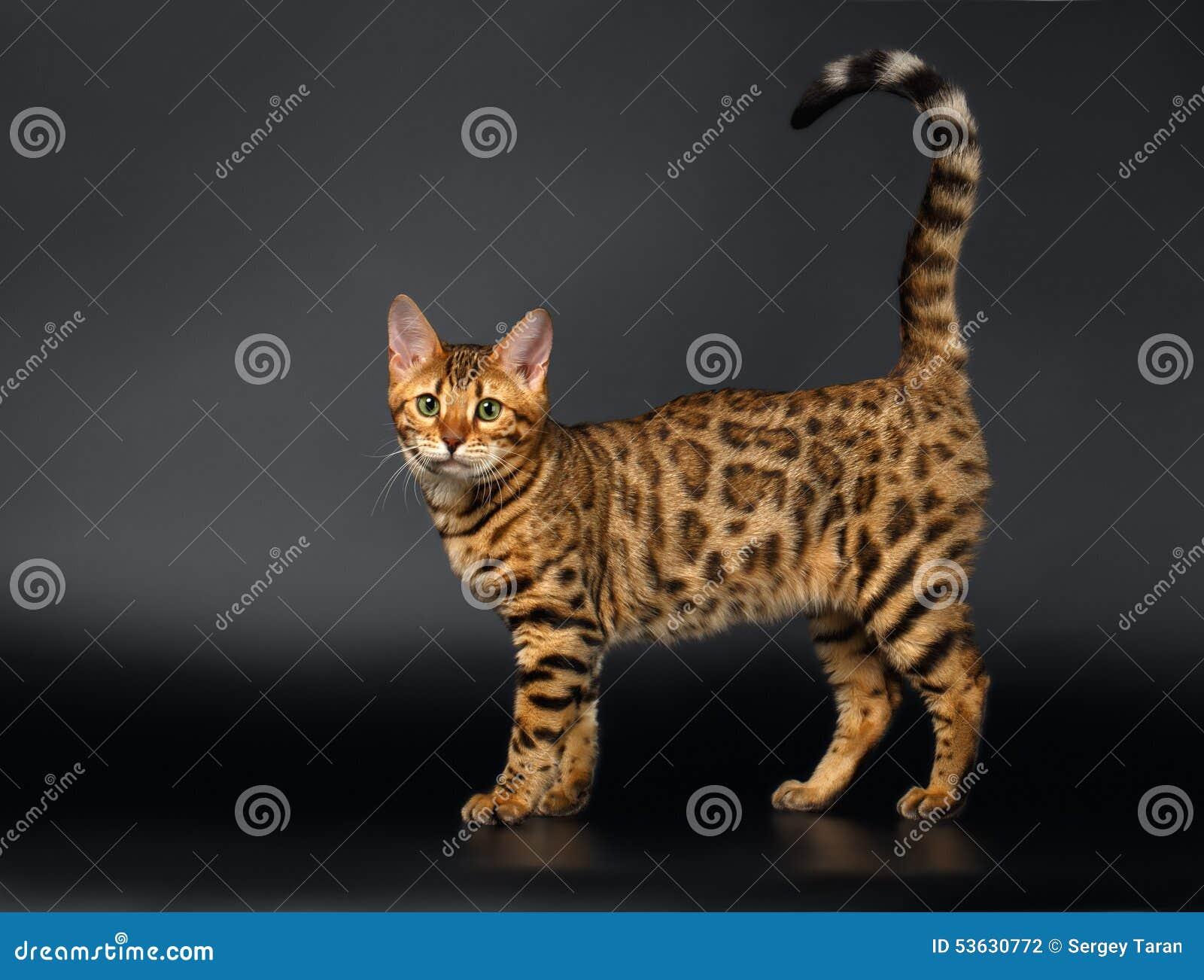 Bengalen Cat Curious Looking in camera op Zwarte