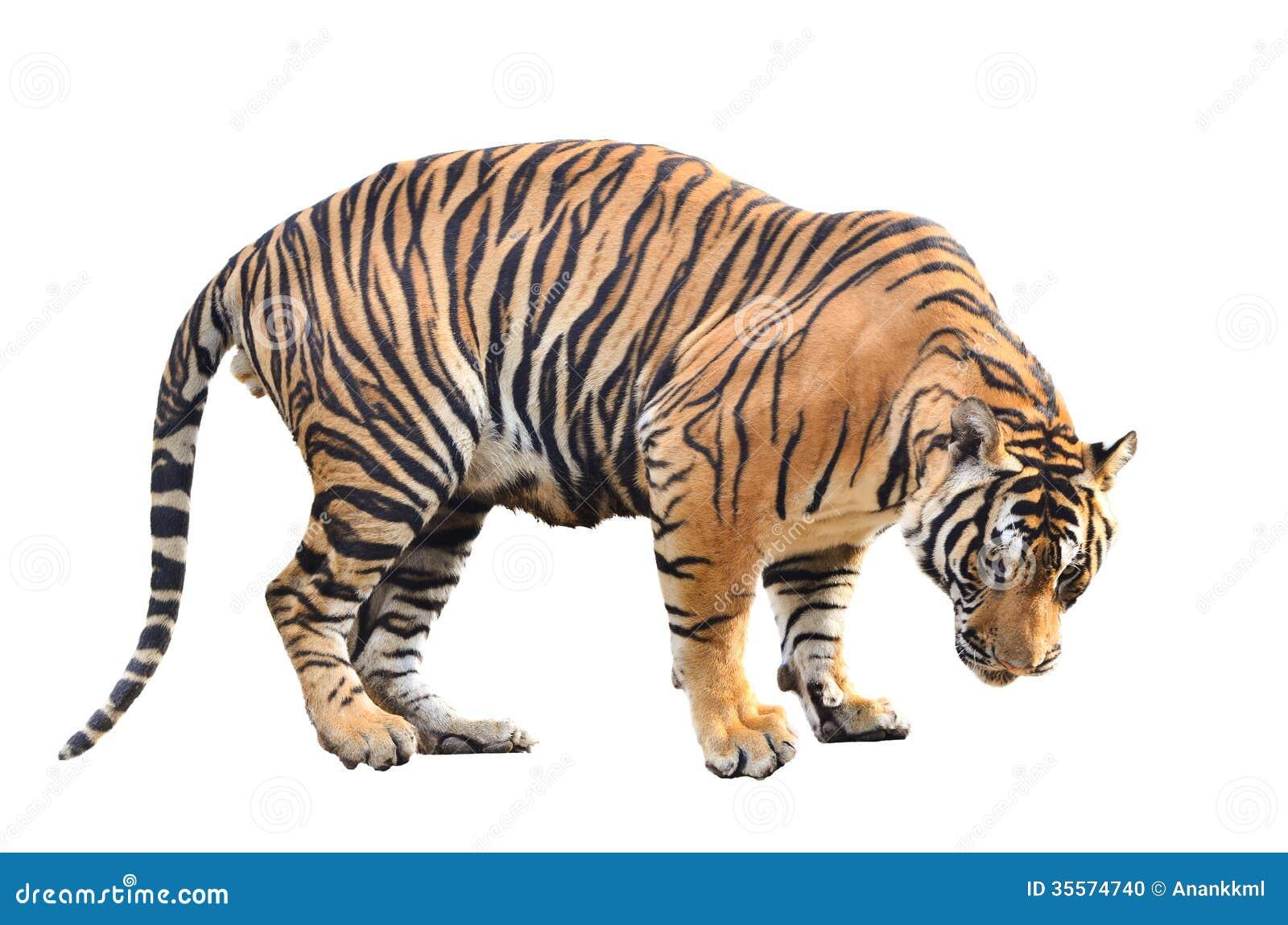 Bengalia tygrys odizolowywający