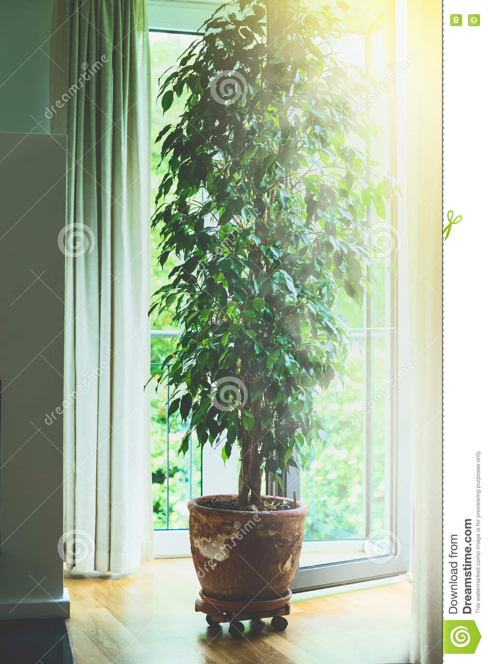 Benjamina ficus tree in old terracotta pot in living room at big window with sunlight. Home design