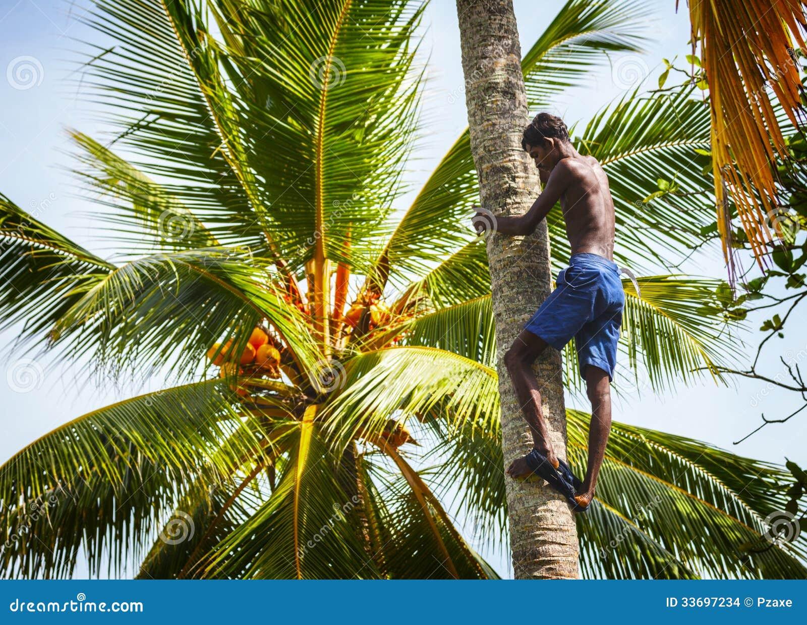Bentota sri lanka 26 avril homme sur le tronc de - Palmier noix de coco ...