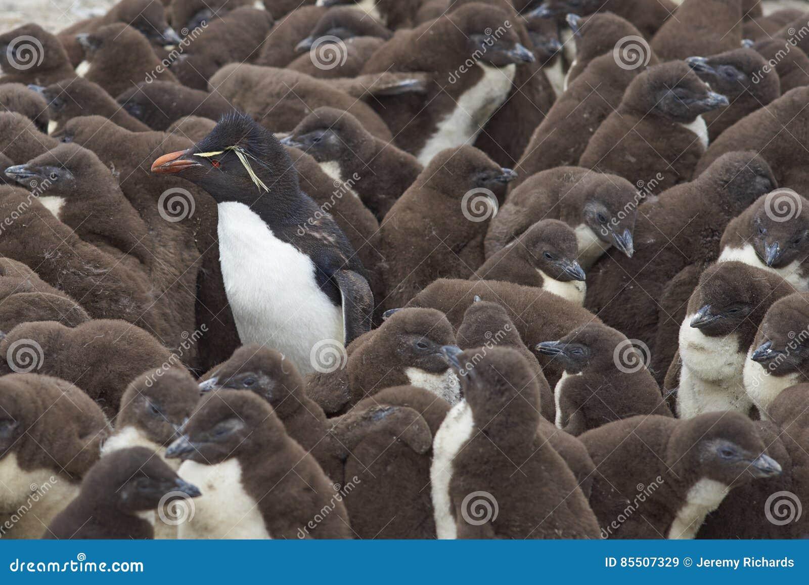 Berçário do pinguim de Rockhopper - Falkland Islands