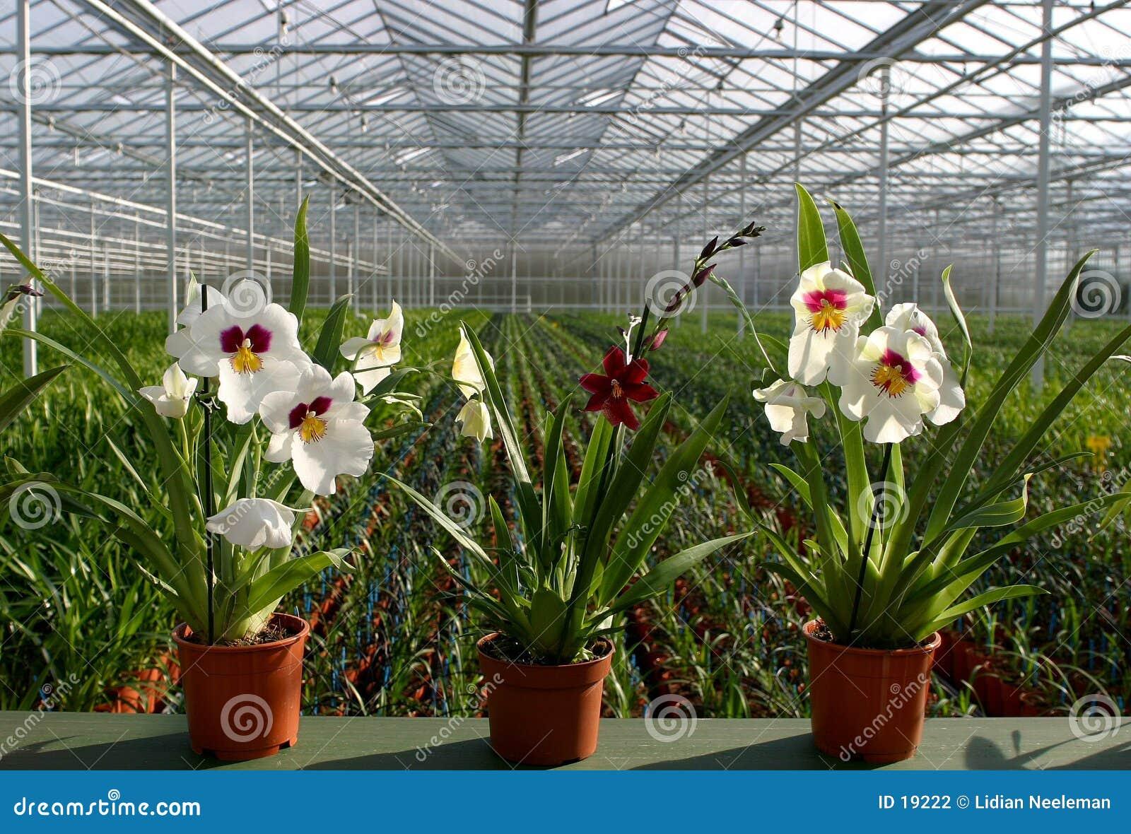 Berçário-orquídeas da planta