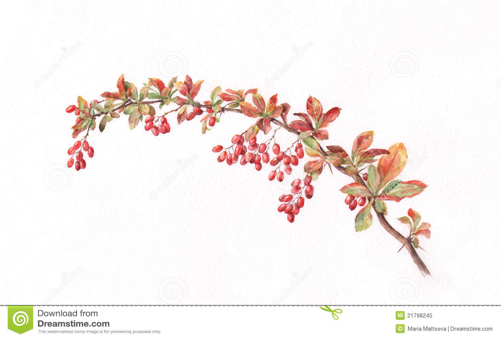 Berberis Branch Watercolor Painting Royalty Free Stock Photo - Image