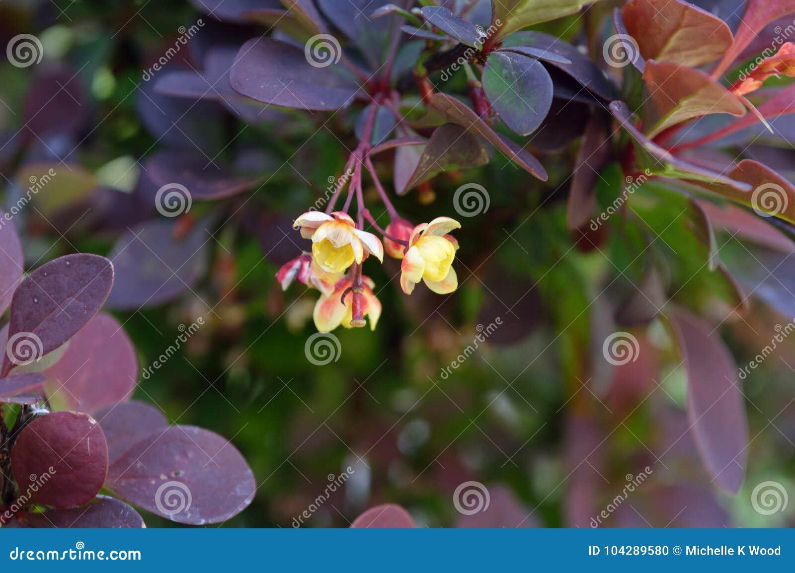 Berberis thunbergii flower cluster closeup