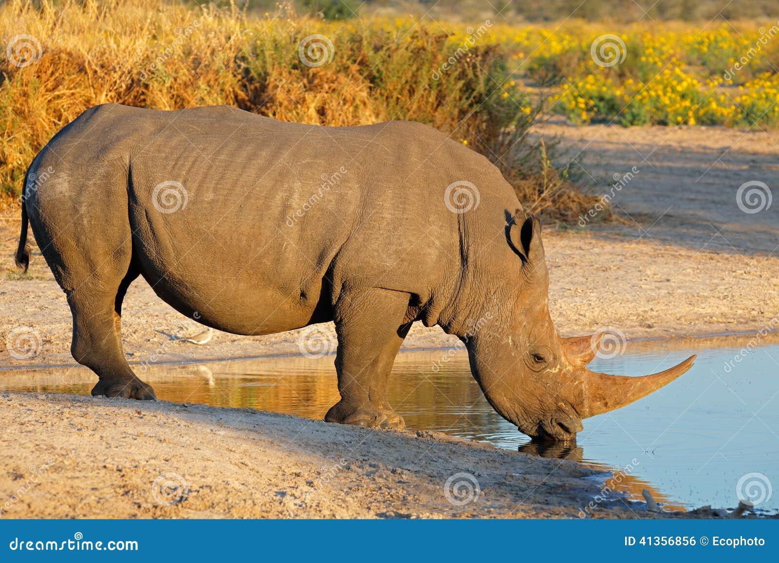 Bere del rinoceronte bianco