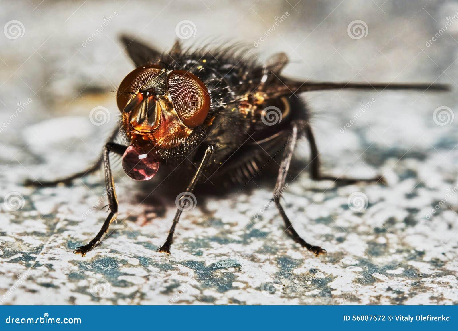 Bere grigio della mosca