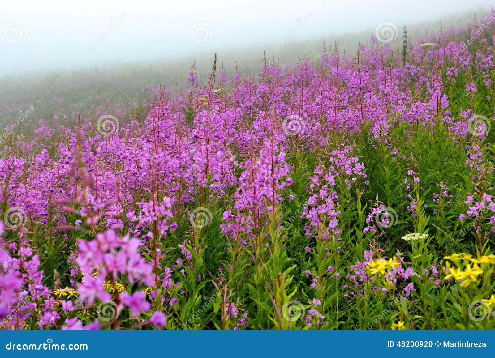 Download Bergäng i dimma arkivfoto. Bild av stort, liggande, blomma - 43200920