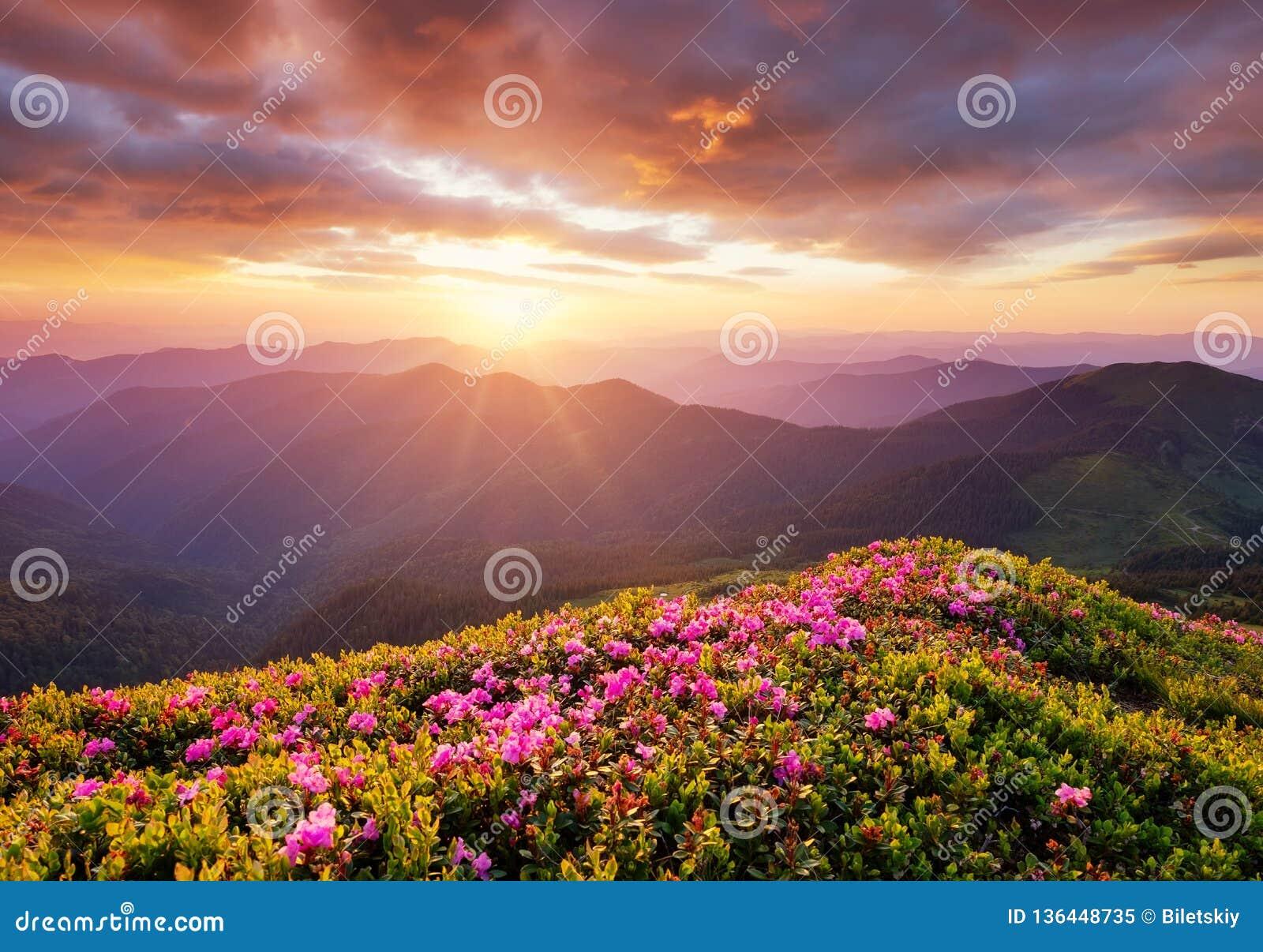 Berg under blommablomningen och soluppgång Blommor på bergkullarna Härligt naturligt landskap på sommartiden