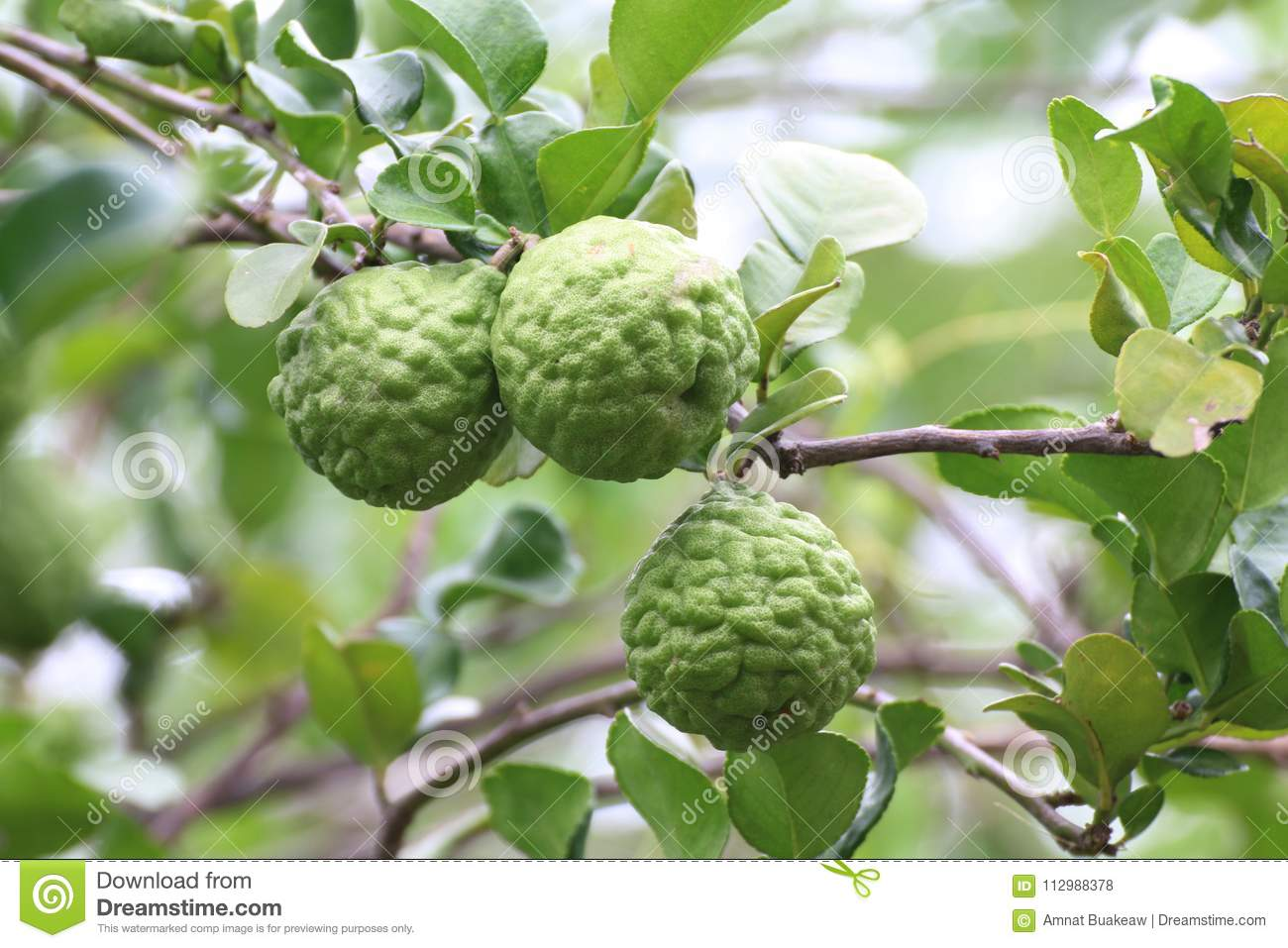 Bergamot, kaffir Lime Leaf farm tree nature Herb for Bergamot Oil